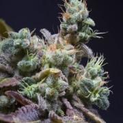 Semilla de marihuana Txomango – Genehtik