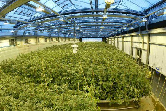marihuana con sabor a fresa
