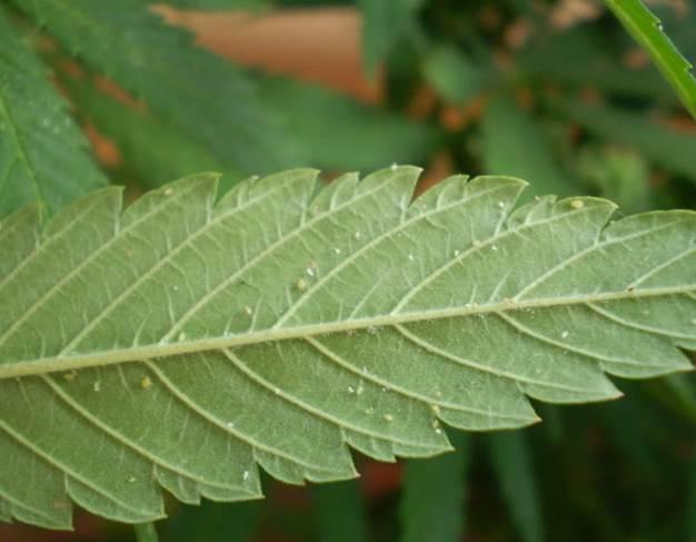 cochinillas-plagas-cannabis