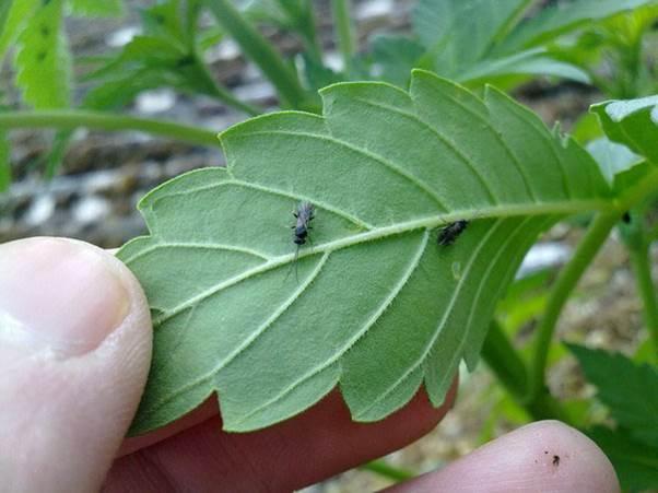 mosca-mantillo-plagas-cannabis