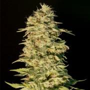 Semilla de marihuana feminizada OG Lemon Bilbo