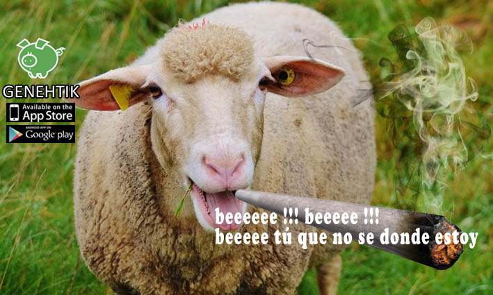 Un rebaño de ovejas consume marihuana y causa un caos