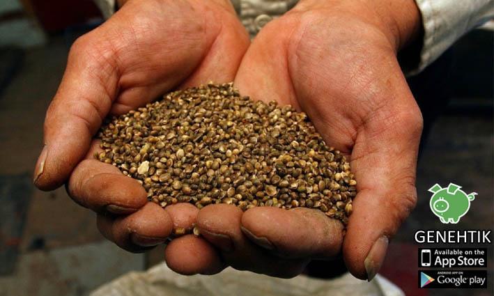 Las semillas de cannabis tienen muchas propiedades interesantes y son muy beneficiosas para el ser humano