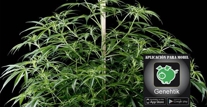 Investigación del genoma de la marihuana