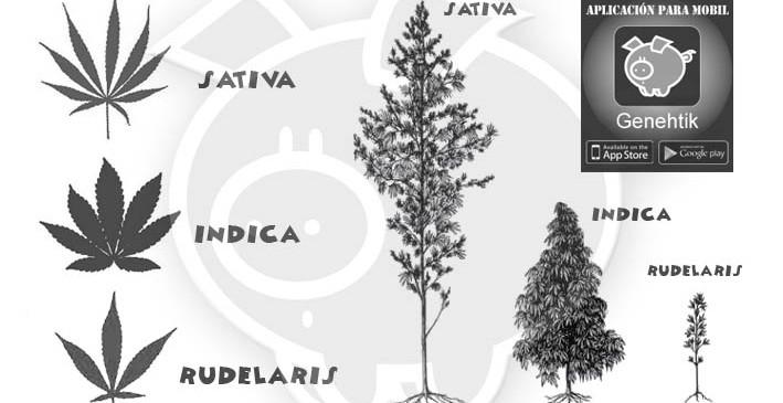Diferencias entre cannabis sativa, indica y rudelaris