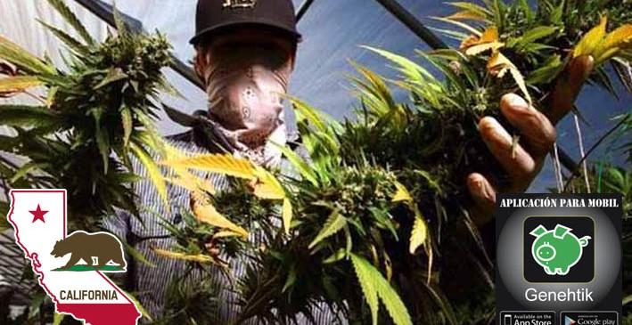 Jornaleros de la marihuana en California