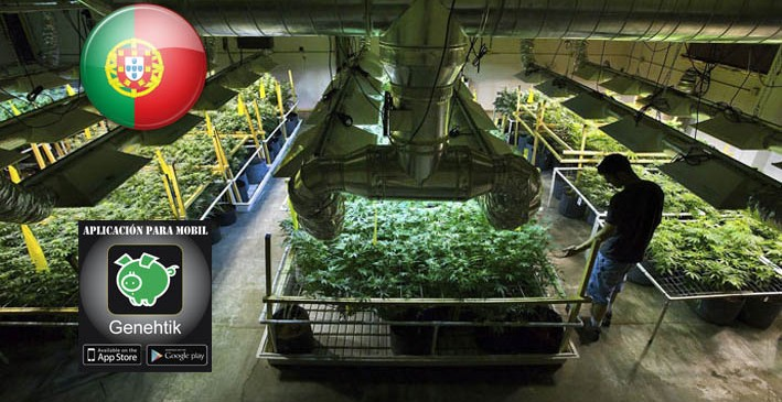 Macroplantación de marihuana en Portugal: 62 toneladas/año