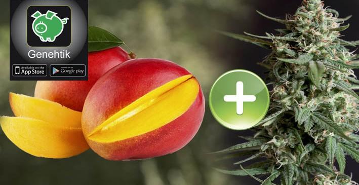 El mango potencia los efectos psicoactivos del cannabis