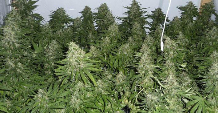 Aumentar la producción en un cultivo de marihuana