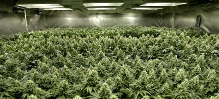 tecnica de cultivo de marihuana SOG, sea of green o mar verde