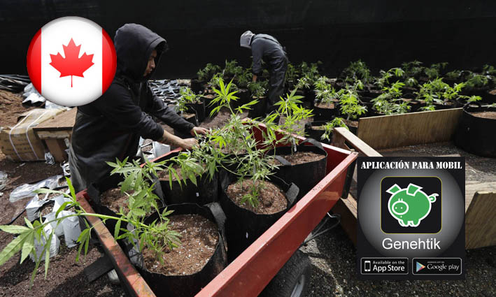 Canada aprueba ley para legalizacion de la marihuana