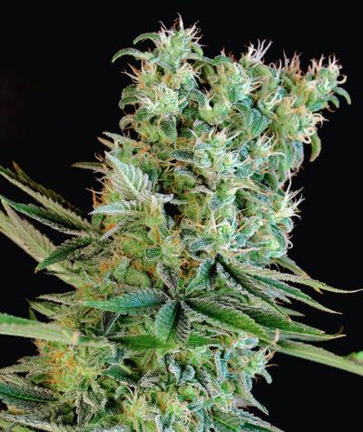 Amnesia Bilbo - Semilla de cannabis feminizada