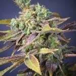 Semilla de marihuana Txomango - Genehtik