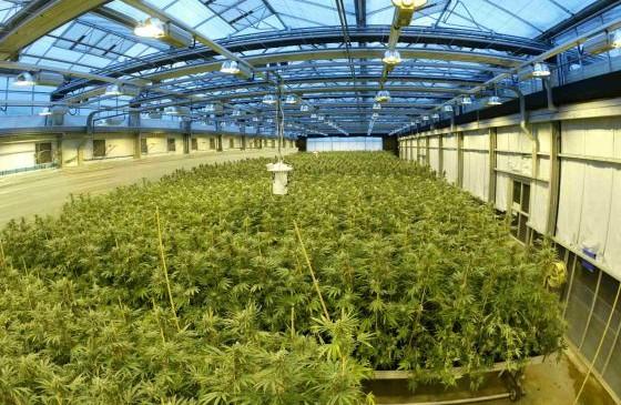 """Sabe a fresa"", así se prueban derivados de la marihuana contra la epilepsia infantil"
