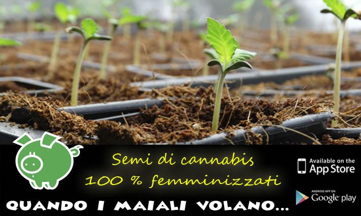 Semi di cannabis femminizzati Genehtik