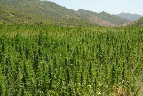 Aprovado el cultivo de 7 mil semillas de marihuana en Chile para uso medicinal
