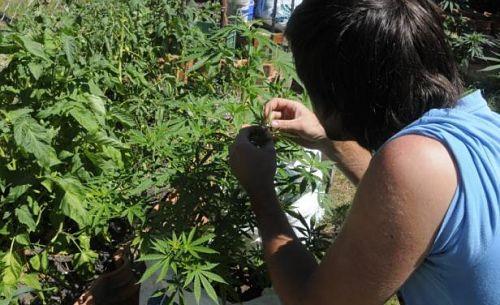 Autocultivo cannabis Uruguay
