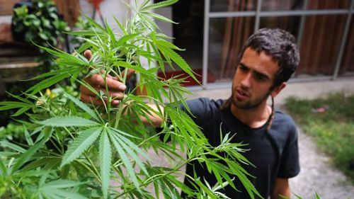 El autocultivo de marihuana en Uruguay se considera mejor que el merado negro