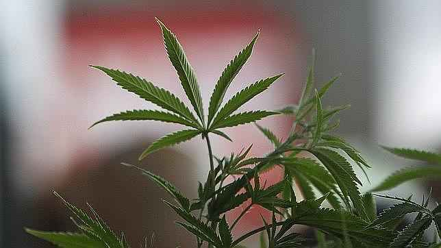 El supremo establece requisitos para los clubes de cannabis