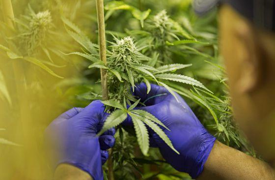 Colombia aprueba el decreto para el uso de marihuana medicinal