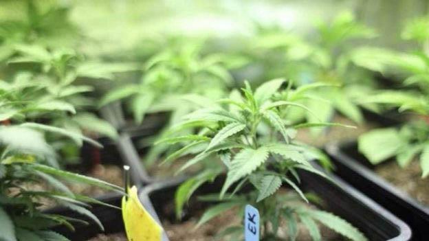 Pennsylvania legaliza la marihuana medicinal