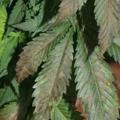 mildius-hongos-cannabis-2