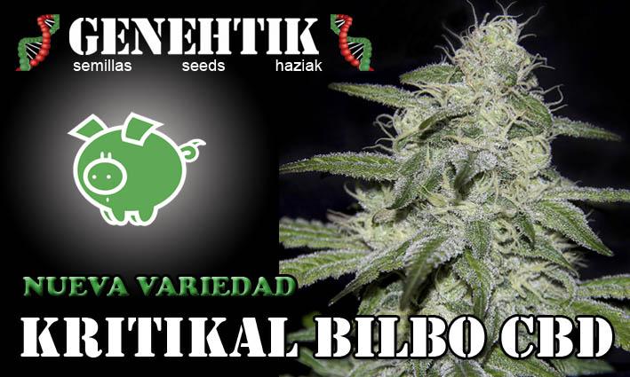 Nueva semilla de cannabis Kritikal Bilbo CBD. Perfecta para usurios de cannabis medicinal