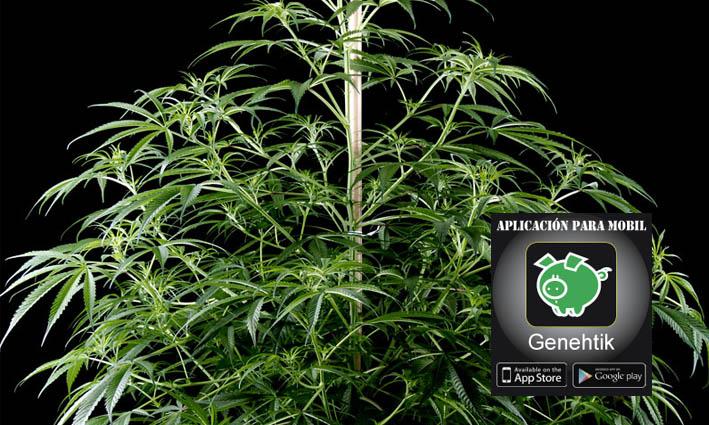 Investigan el genoma de la marihuana para saber que otorga el sabor