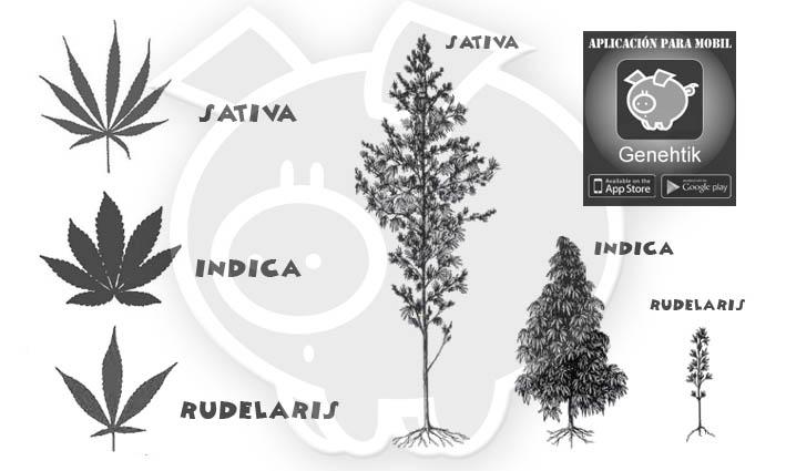 Diferencias entre el cannabis sativa, cannabis indica y cannabis rudelaris