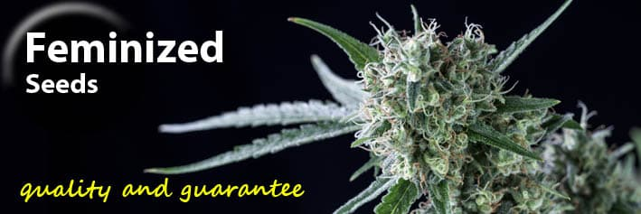 Feminized cannabis seeds Genehtik