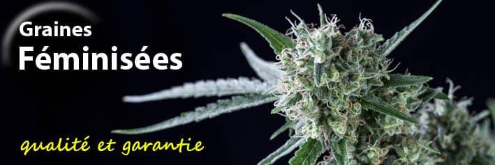 Graines de cannabis féminisées Genehtik