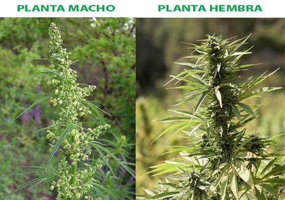 Planta de marihuana macho y hembra