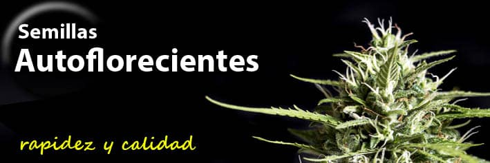 Semillas de marihuana autoflorecientes Genehtik