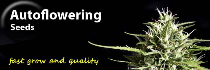 Autoflowering cannabis seeds Genehtik