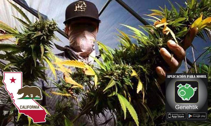 Cosecha de marihuana en California