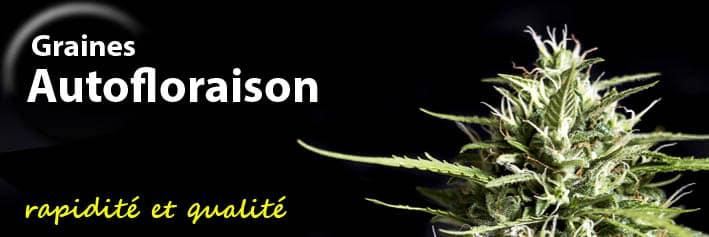 Graines de cannabis de autofloraison Genehtik