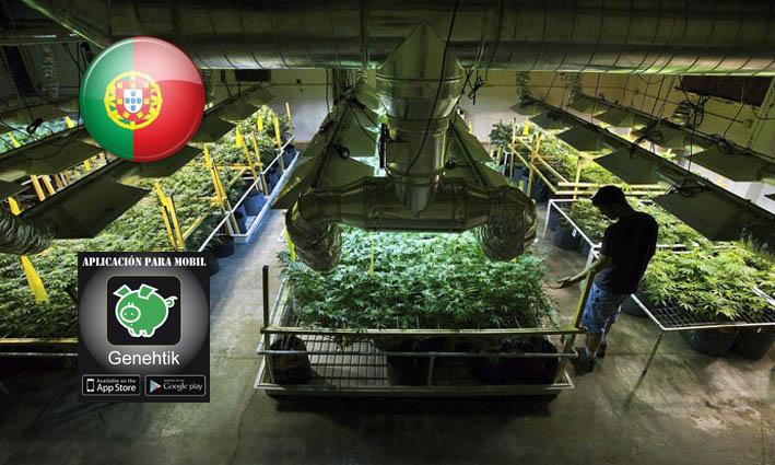 Macroplantacion de marihuana en Portugal para uso medicinal