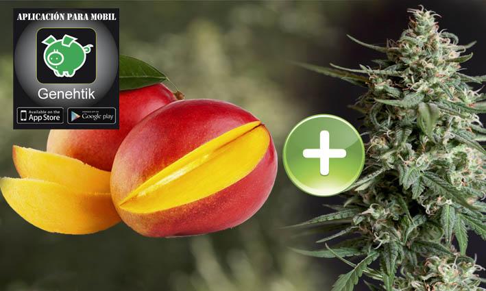 La fruta del mango potencia los efectos del cannabis