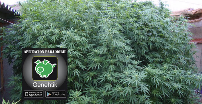 Obtener mayor producción de las plantas de marihuana