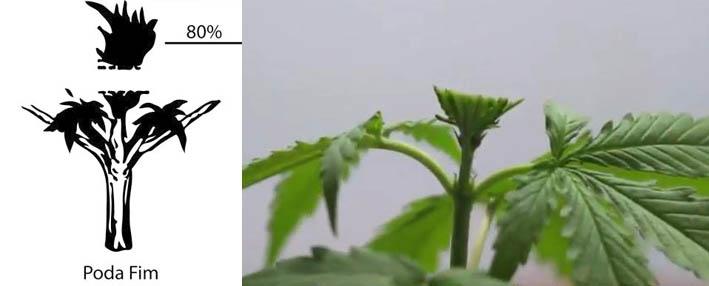Poda FIM para planta de marihuana