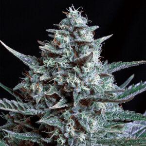 Semilla de marihuana feminizada Blubonik