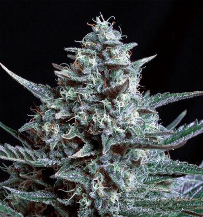 Blubonik - Semilla de marihuana feminizada Blubonik