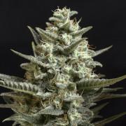 Semilla de marihuana feminizada Sweet Bilbo