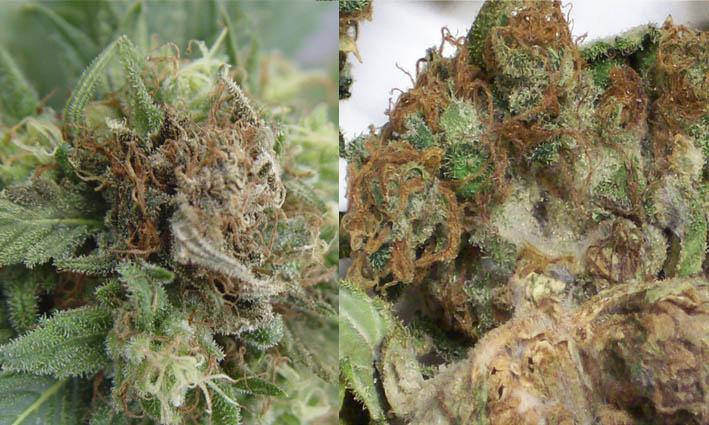 Brotytis o Moho Gris - Hongos del cannabis