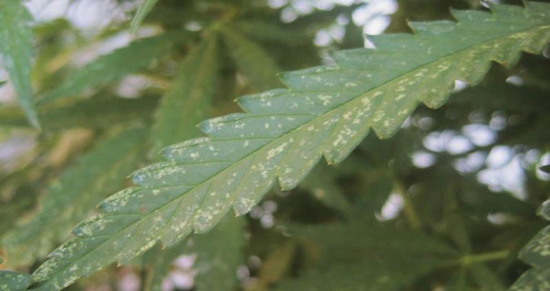 Mosca Blanca - Plagas del cannabis
