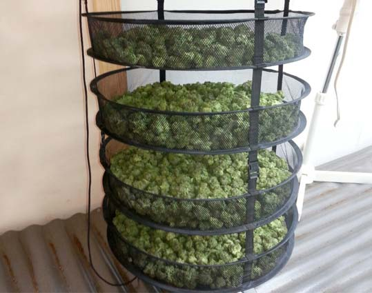 secado de marihuana en una malla