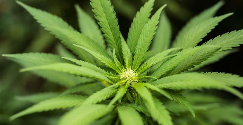La OMS recomienda retirar el cannabis de la lista de drogas peligrosas