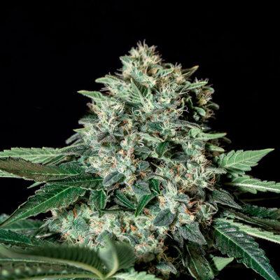 Gorila Bilbo - Semilla de cannabis feminizada