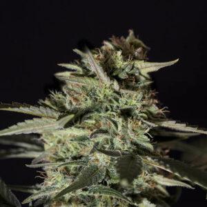 Medizinal CBD -Semilla de marihuana feminizada