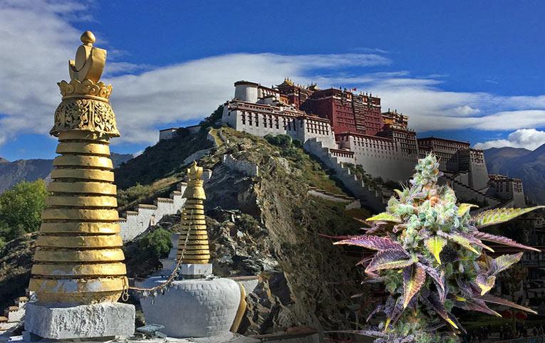 El origen del cannabis es el Tibet